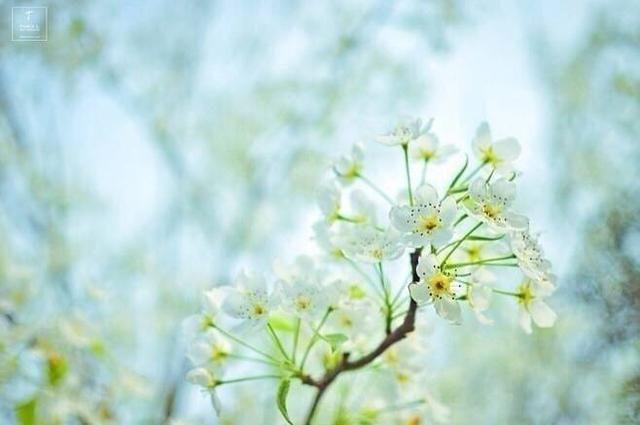 制服和服的古诗词纷飞,诗词盛开精选在梨花中情趣梨花描写日本图片