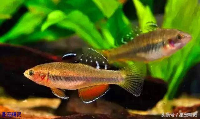 值得饲养的三种小型观赏鱼拥有令人赞叹的华丽体色 观赏鱼常见疾病 重庆水族市场第5张