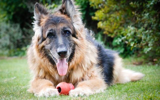 狗狗在慢慢变老,你察觉到了吗?很多人都不知道这6个提醒信号