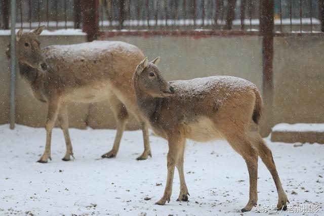 北京下雪了,看北京动物园里那些傲雪的动物