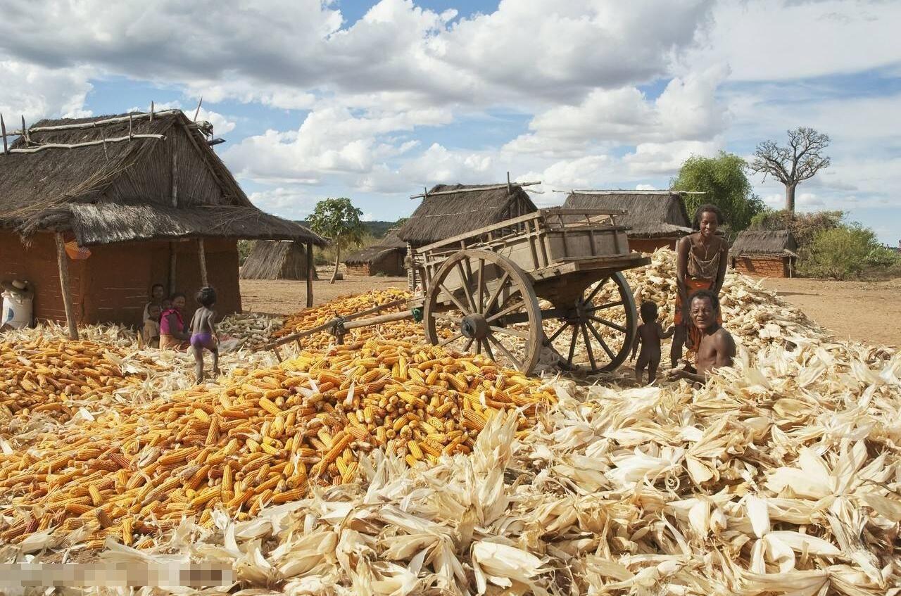 非洲人种玉米,都是撒的,抓一把,撒一片…不抛坑,不盖图片