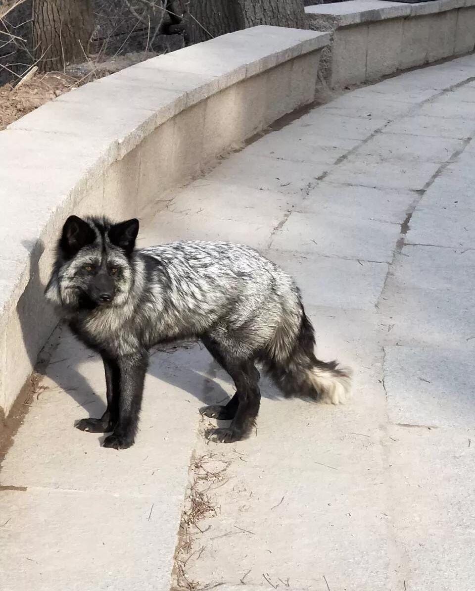 吉林市北山出现疑似家养狐狸被人放生,一共三