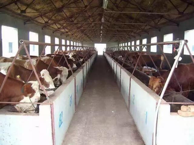 注射牛口蹄疫疫苗过敏怎么处理 养牛知识