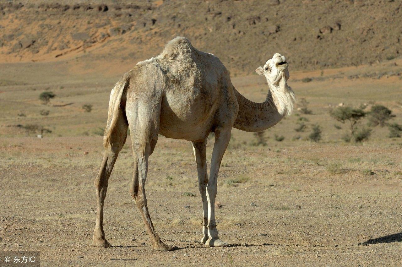 这些美丽的动物,成为了一些国家的象征