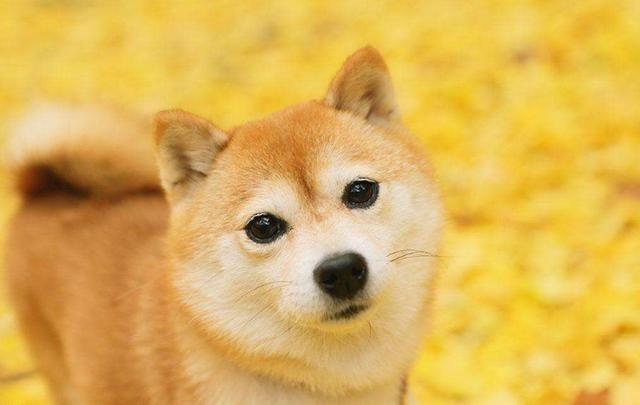 网友在雪地发现一只柴犬,可看清后傻愣了,竟是:橘猫胖