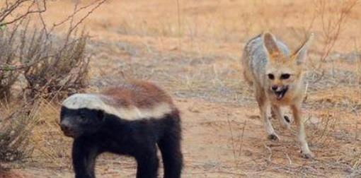 一只胡狼竟不要命尾随一只蜜獾,看到最后才明白它这么