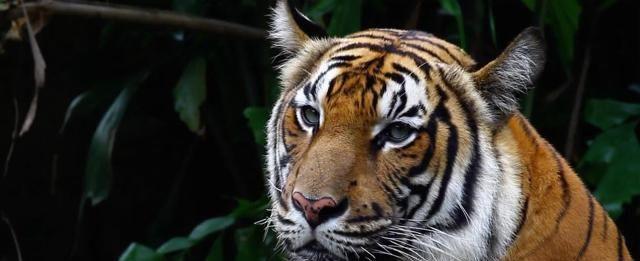 """老虎有""""三不杀""""?饿急了的老虎可管不了那么许多"""