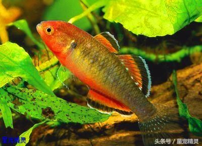 值得饲养的三种小型观赏鱼拥有令人赞叹的华丽体色