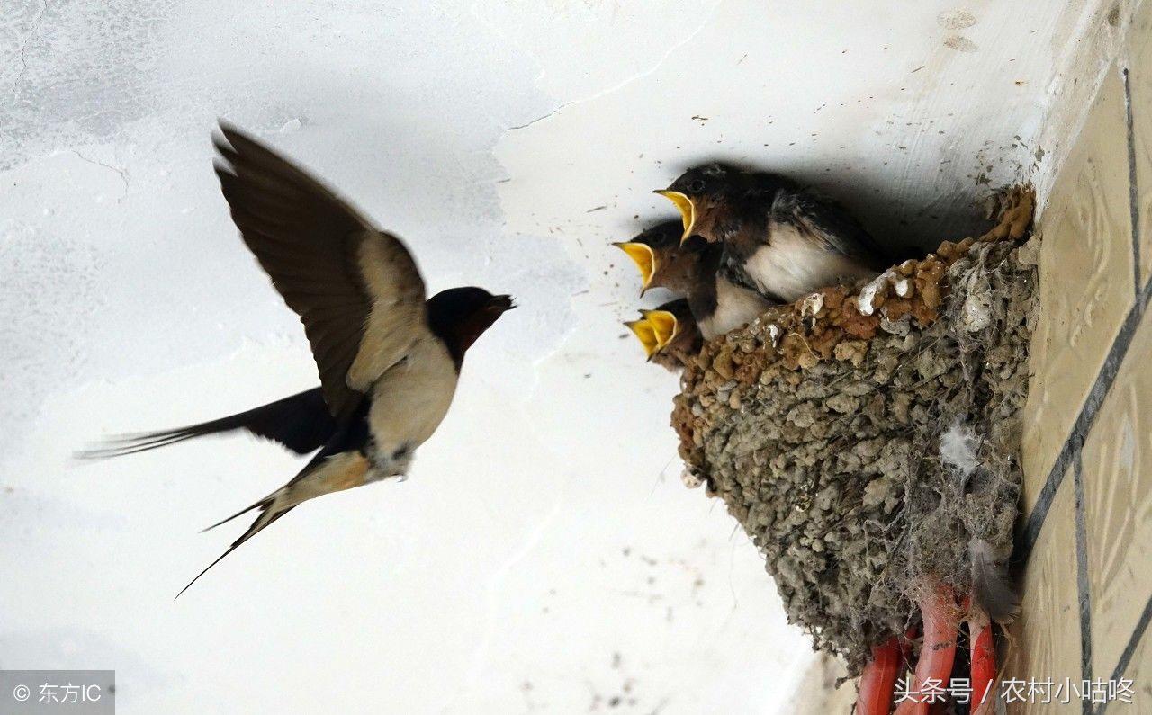 我们家门口的燕子窝被麻雀占领了怎么办,小燕子都被麻雀弄出来了(还不