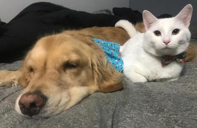 小猫不幸与妈妈走散,金毛发现后把它叼回家,从此有了一个猫儿子