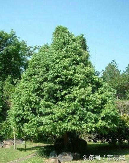 财经 财经要闻 正文  铁桦树主要分布在产于中国吉林东部及东南部