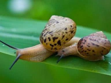 难以置信,蜗牛居然是世界上牙齿最多的动物!