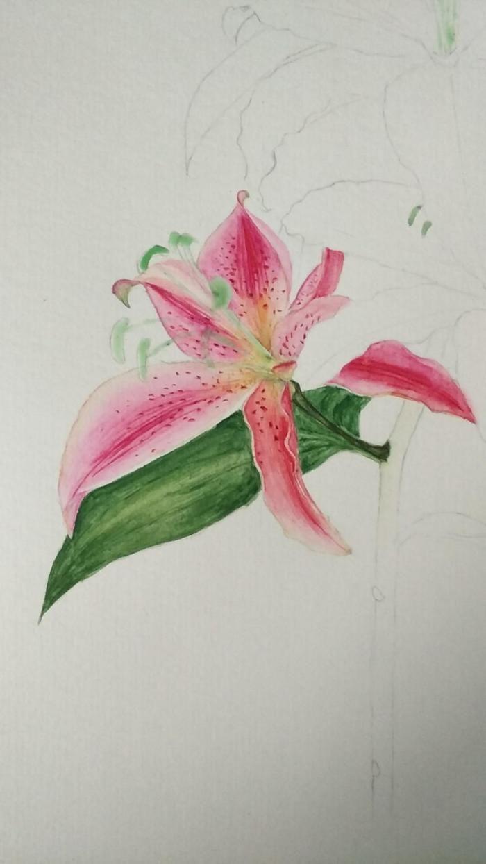 零基础学水彩:一束百合花绘画过程分享