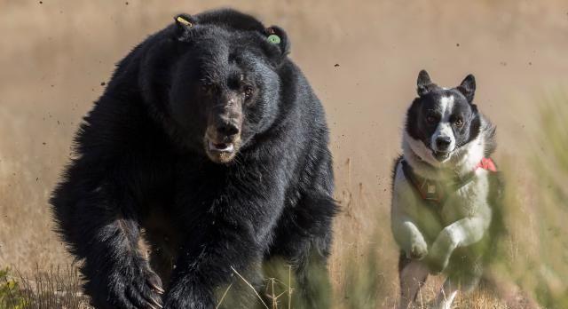 俄罗斯原住民崇尚猛犬,但不是高加索犬,而是这种专门杀熊的猛犬