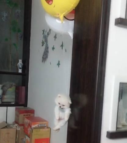 狗狗身上绑了两个气球后,莫名其妙就飞起来了!狗:我是谁我在哪