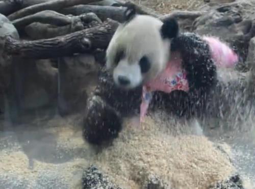台湾动物园熊猫竟学会拆家,网友:比二哈都能闹腾