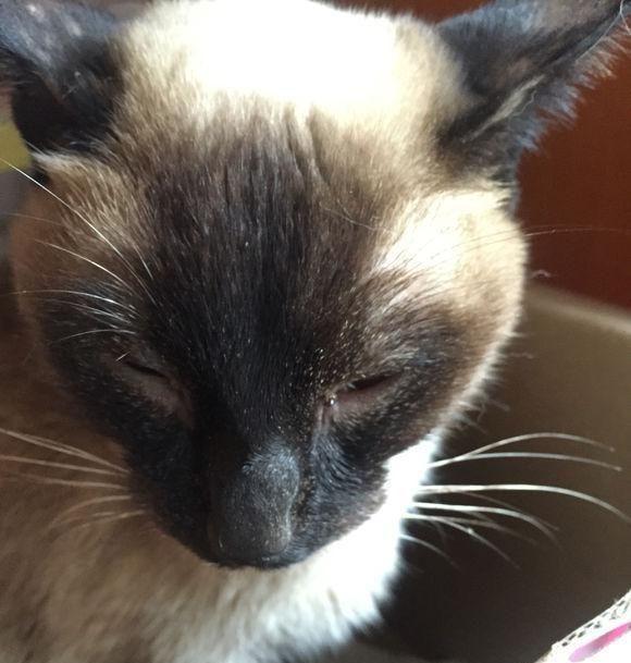 心疼!暹罗猫流浪在外,许久没进食已成皮包骨,已为自己找好坟墓