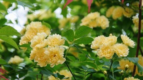 比黄金还贵的花树,一年花开180天,比桂花香10倍不止香飘10层楼