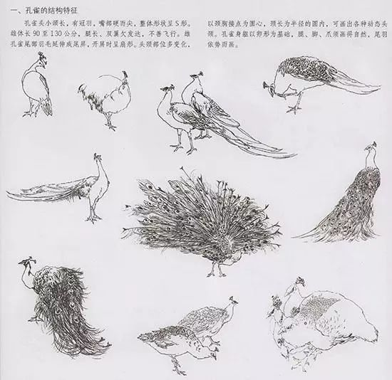 白孔雀头颈亦为细羽毛,多以线条率勾.