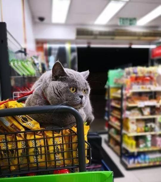"""一只猫肥成""""米其林人"""",因为腮帮子走红,而且还成了便利店店长"""