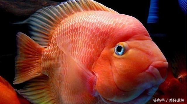 排名第一的国民宠物鱼马云都是它的粉丝--爱上鹦鹉鱼爱上发财 观赏鱼常见疾病 祥龙鱼场
