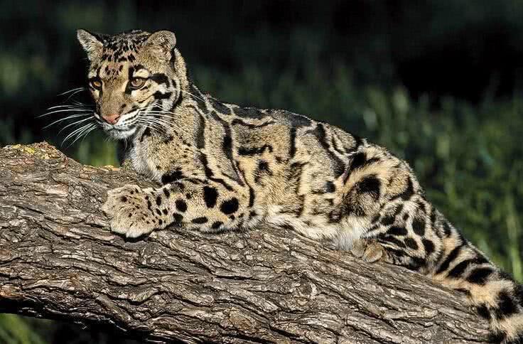 台湾云豹 台湾云豹-1972年灭绝,台湾最大的野生动物之一,属于猫科动物。体重32-46斤,体长0.6-1米,肉食性动物,以树上的猴子、松鼠、鸟类等中小动物为食。台湾云豹全身呈黄褐色,每只身上的花纹、斑点各不相同。因为毛质柔软富有光泽,并且骨头是上等中药,被一群利益熏心之人大肆捕杀,遭到灭顶之灾。