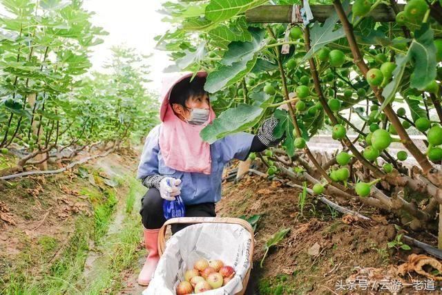 东藕塘村,金华最大的无花果种植基地,甜到爆炸