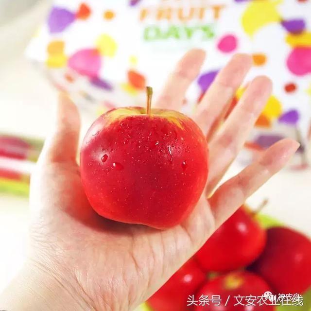 苹果只有网球大小,卖16元一个,比奇异果还邪乎