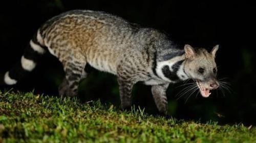 最大的区别就是花面狸是灵猫科动物,而狐狸是犬科动物.